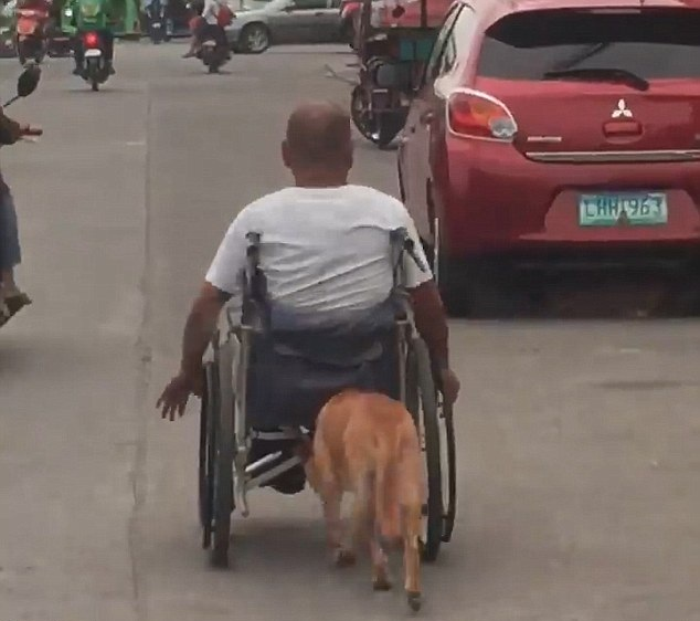 暖心!菲律宾一宠物狗帮助残疾主人推轮椅上街