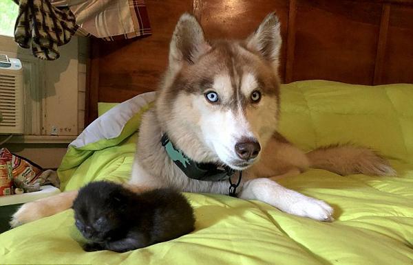 美国哈士奇救7只被弃小奶猫成为代理妈妈