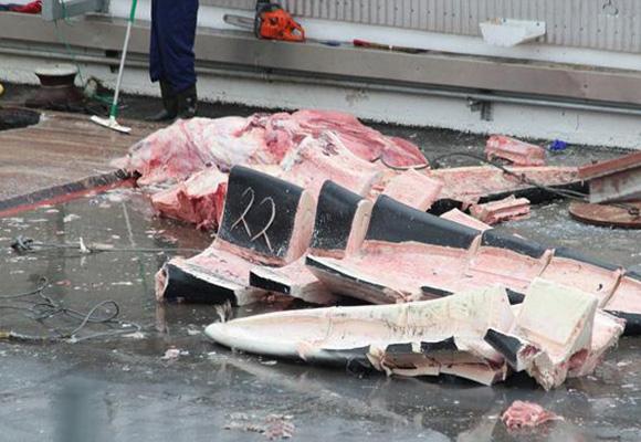 冰岛公司捕杀濒危蓝鲸 肢解后将销往日本
