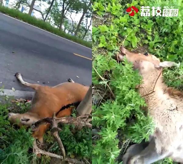 """江苏大丰麋鹿保护区门口,农家乐当街卖""""麋鹿肉"""""""