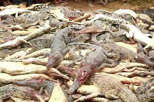 印尼一村民命丧鳄口 全村屠杀300鳄鱼为其报仇