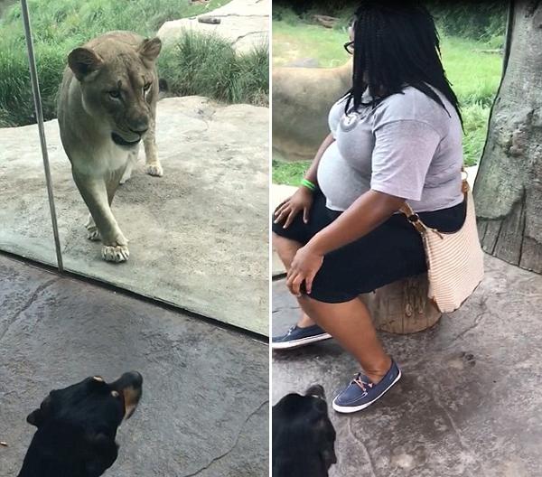 美狗狗忠心护主 面对狮子狂吠不止毫不畏惧