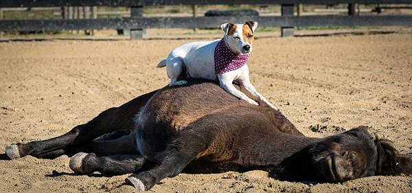 默契搭档!美国一狗狗骑马奔驰跨栏不用缰绳