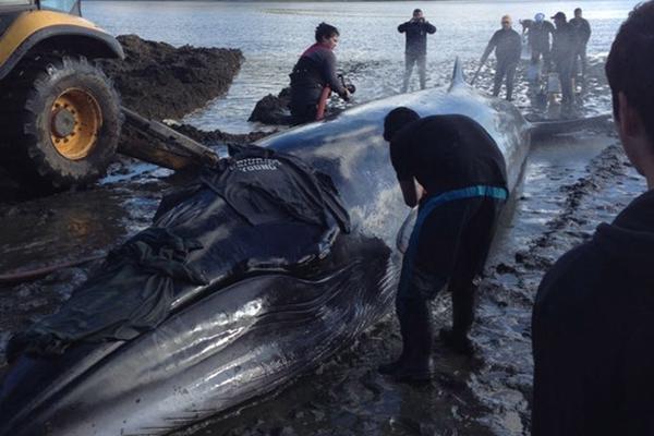 智利一大须鲸搁浅海滩情况危急 众人合力成功营救放归大海