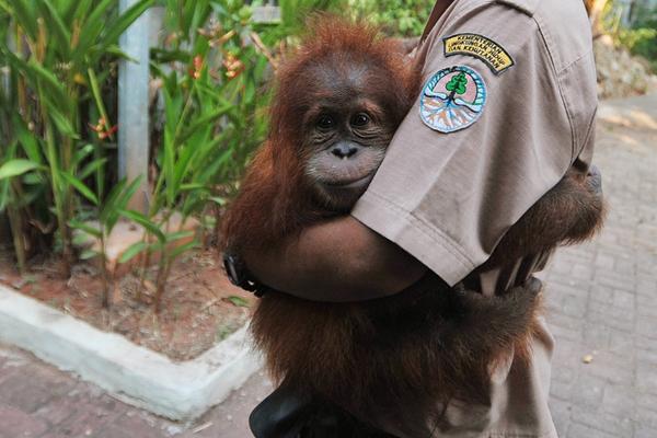 吓死宝宝了!印尼一猩猩幼崽被解救紧抱人不撒手