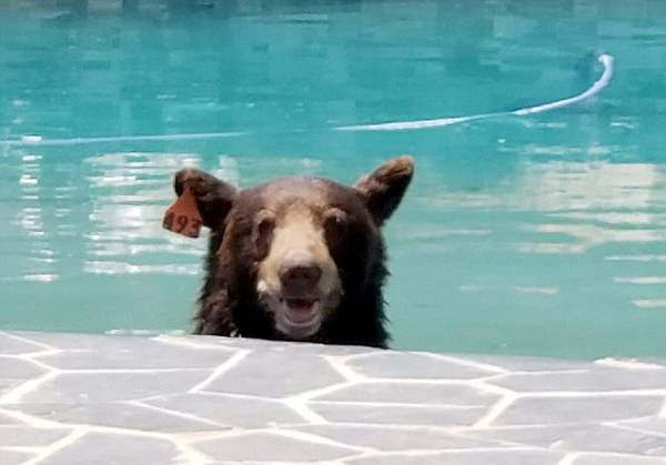 熊出没!美居民家后院泳池现黑熊纳凉对镜头露微笑