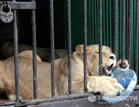 """消暑妙招 俄圣彼得堡列宁格勒动物园为动物们提供""""冻蛋糕"""""""