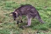 袋鼠吃草中毒出现醉酒状 因脑损伤倒地毙命