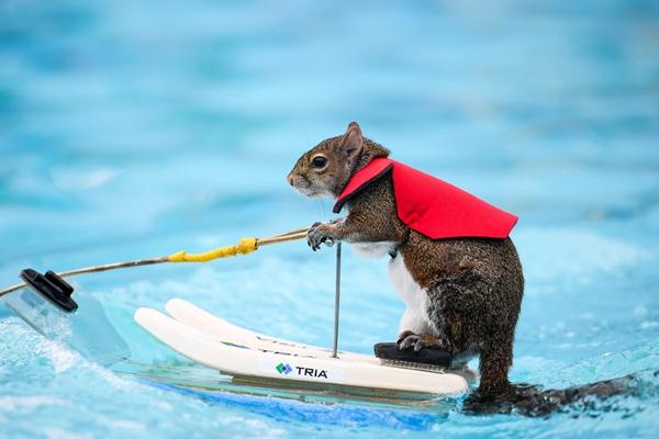 超自信帅气!美国小松鼠玩儿冲浪技术娴熟