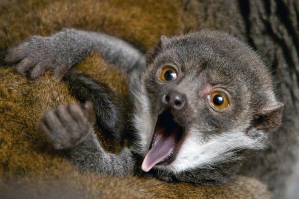 濒危獴美狐猴宝宝在美出生 惊声尖叫天生是个表情包