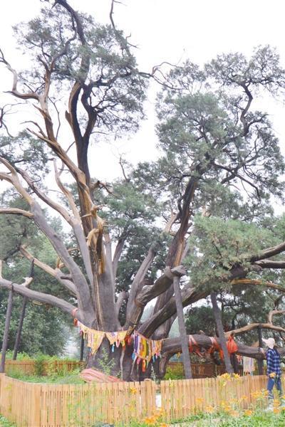 北京树龄最长古树已3500岁 树干要9人才能环抱
