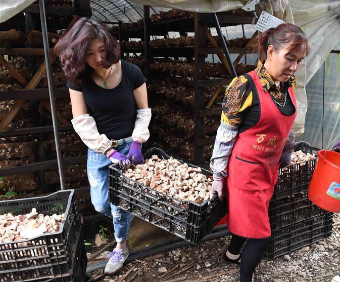 云南寻甸:食用菌种植带动农民脱贫增收