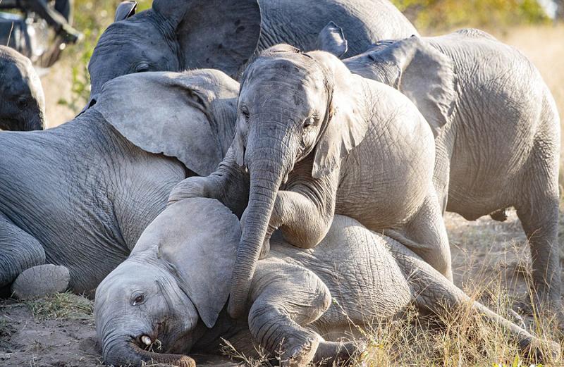 """南非象群大聚会 小象玩起""""叠罗汉""""好不热闹"""
