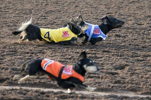 另类速度与激情!第23届美国年度赛狗大会开幕