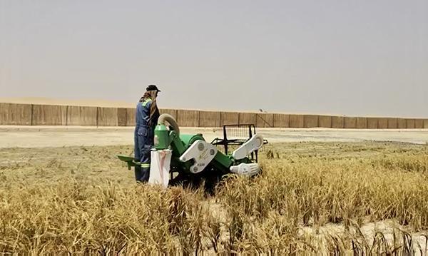 袁隆平团队迪拜沙漠种海水稻成功 将推广中东北非