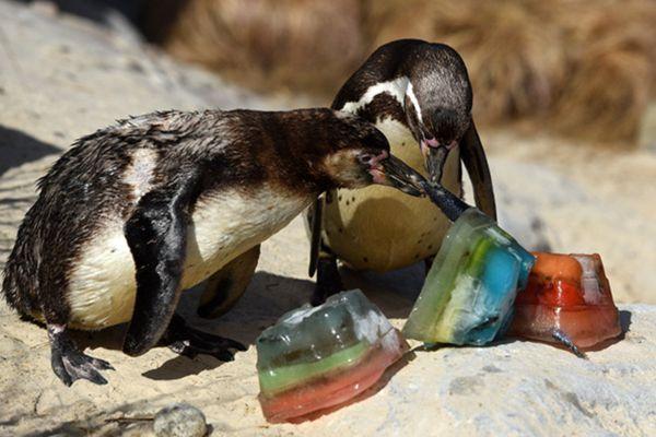 热浪席卷英国酷暑难耐 动物园企鹅啃冰消暑大快朵颐