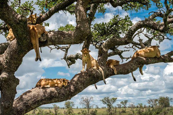 坦桑尼亚狮群枝头午睡 满树挂大喵好不欢快