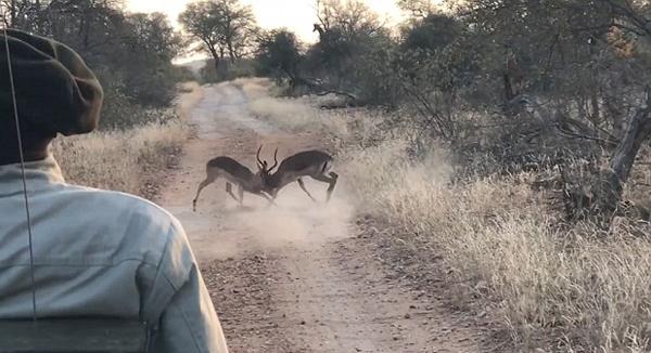 惊险!南非两黑斑羚搏斗突遇豹子攻击侥幸脱逃