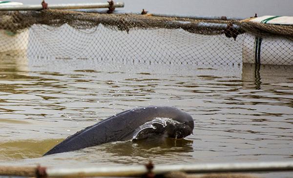 农业农村部:长江江豚尚未正式升级国家一级保护动物,正报批