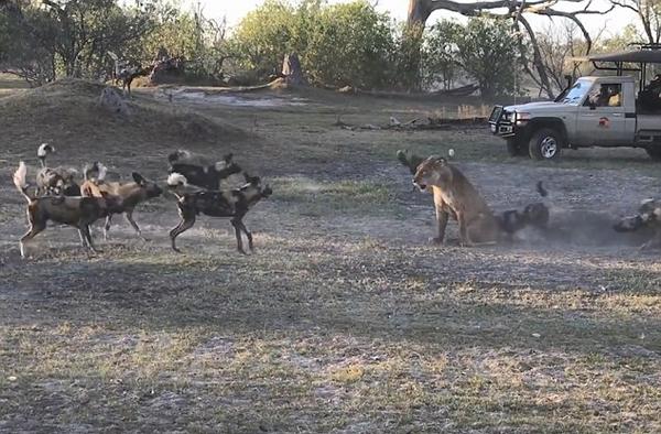 非洲禁猎区内一母狮为护幼崽勇斗野狗群
