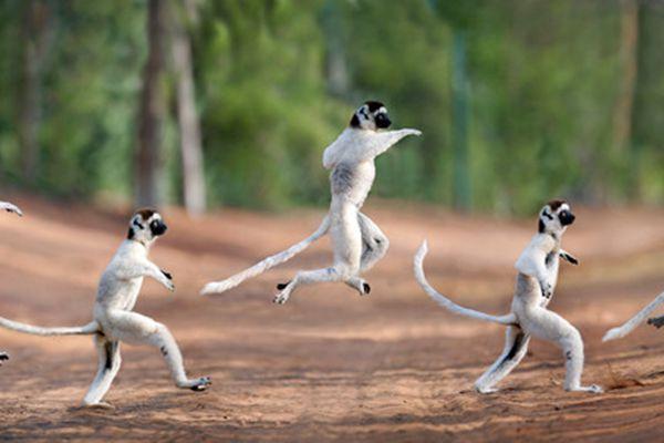 """灵魂舞者 马达加斯加狐猴旋转扭动舞姿""""撩人"""""""