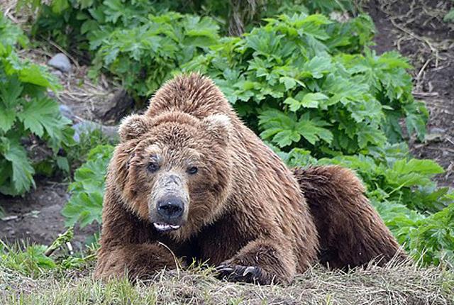 惊呆!俄罗斯棕熊刨开数座坟墓吃人残存尸骨