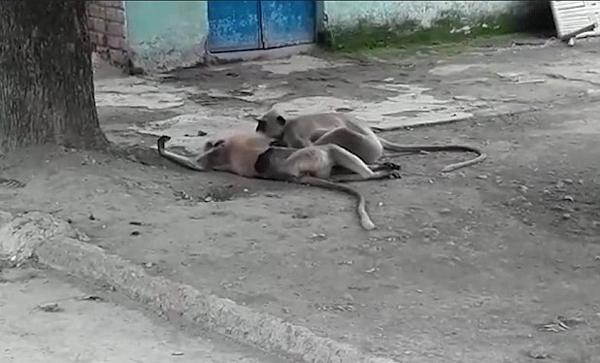 印度一猴子触电而亡 同类为其实施心肺复苏术