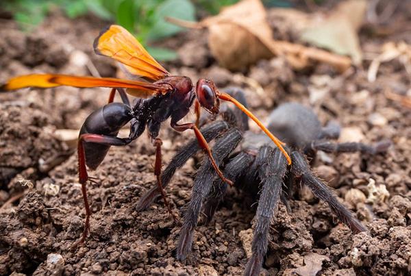 以色列沙漠毒蛛蜂打败硕大狼蛛将卵注入其体内