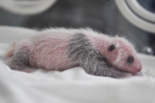 """广州大熊猫""""隆隆""""升级当妈妈"""