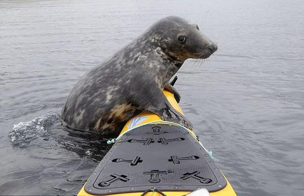 英顽皮海豹扒皮划艇渴望与男子戏水玩耍