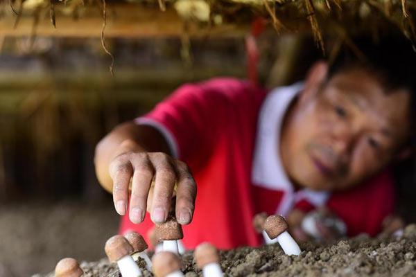 贵州丹寨:大棚菌喜获丰收