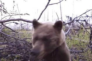 熊口脱险!加拿大两猎人打猎时遭母熊攻击