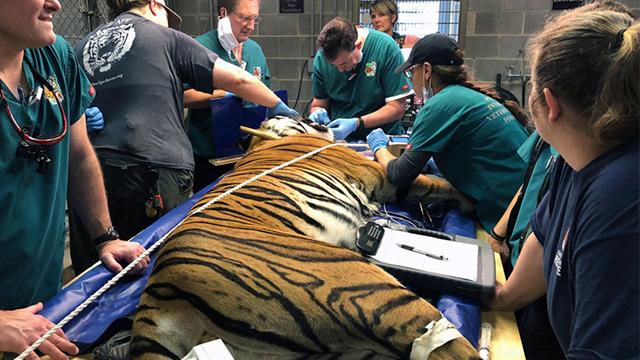 """真""""虎口拔牙"""" 美牙医无保护措施为老虎治疗"""