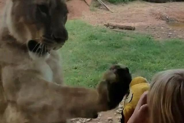美动物园母狮子痴望女童狮子王玩具欲用爪挠
