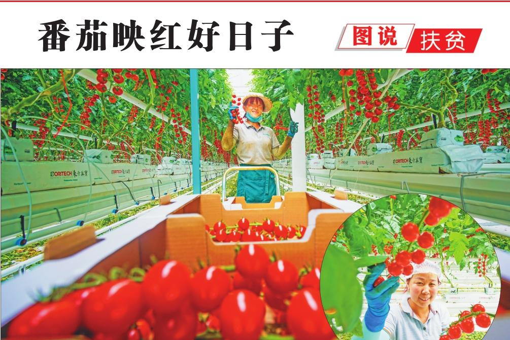 番茄映红好日子