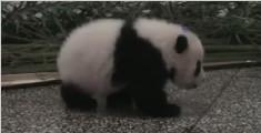 看熊猫宝宝打嗝,小奶音却让我笑到打嗝