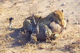 非洲疣猪中花豹埋伏 实力悬殊难逃厄运