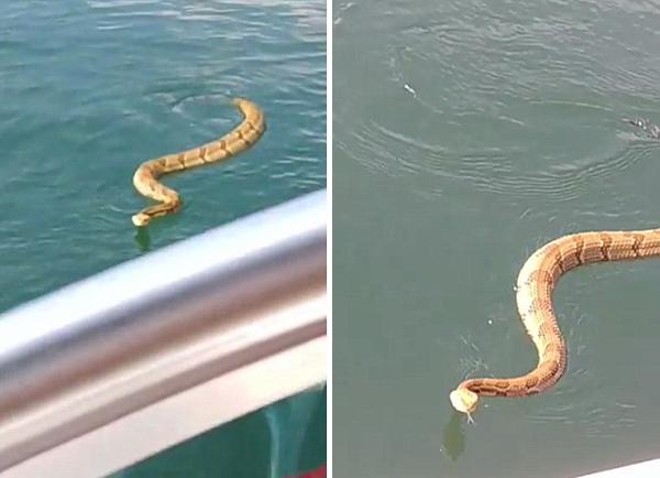 惊险!美国一家人湖上夏令营遇响尾蛇上船