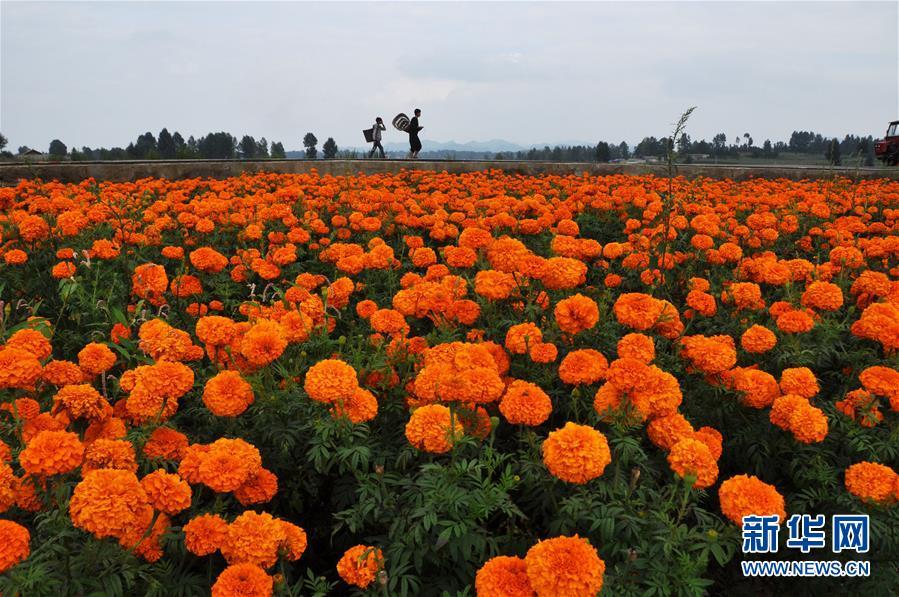 贵州毕节市威宁彝族回族苗族自治县草海镇万寿菊基地一景(2014年8月17