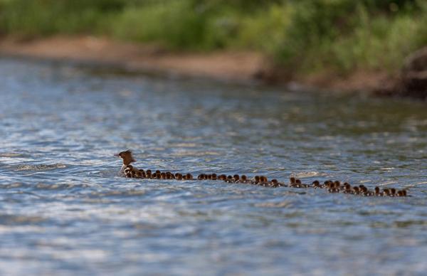 暖心!美国一只母鸭独自照料76只小鸭子