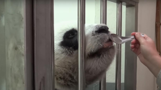"""赠台大熊猫""""圆圆""""成美食家 能分辨纯正龙眼蜜惊到保育员"""