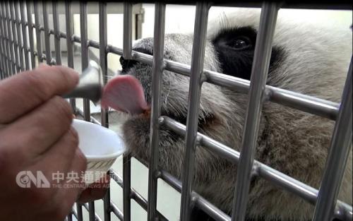 """台北动物园:大熊猫""""圆圆""""超爱蜂蜜 能分辨出纯正龙眼蜜"""