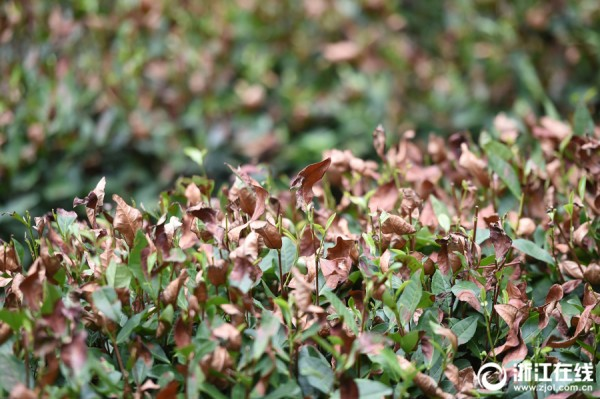 杭州遭遇高温天气 西湖龙井茶树被烤焦