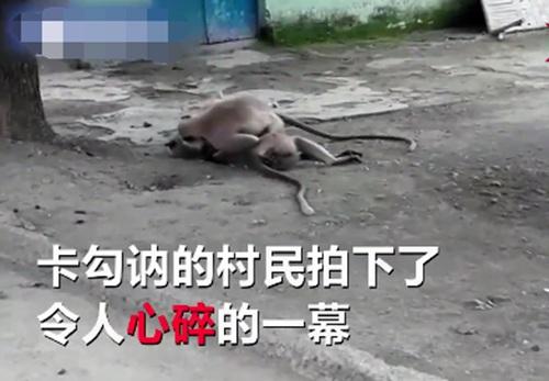 猴子触电身亡 同伴为它心肺复苏
