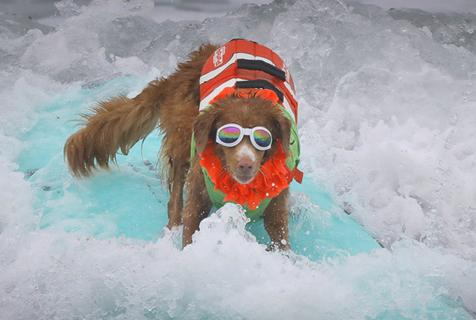 美国海滩上演狗狗冲浪大赛 有模有样滑稽搞笑
