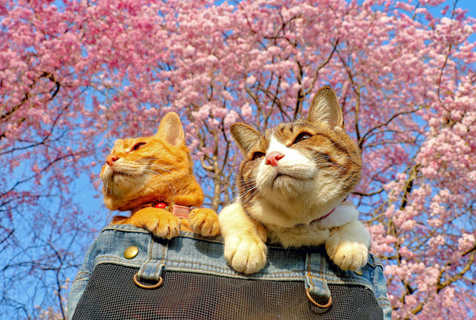 """日本猫咪成""""旅行达人"""" 跟主人走遍全国47县"""