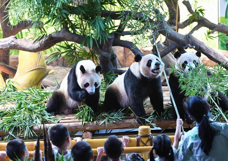 广州百对三胞胎为三胞胎大熊猫庆生