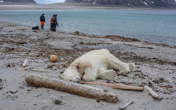 挪威一北极熊攻击游轮员工后被开枪射杀