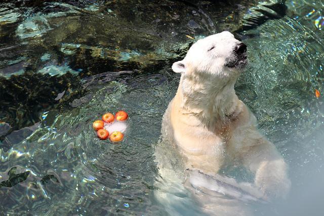 """韩国最后一只北极熊今年冬天将前往英国开始""""退休生活"""""""