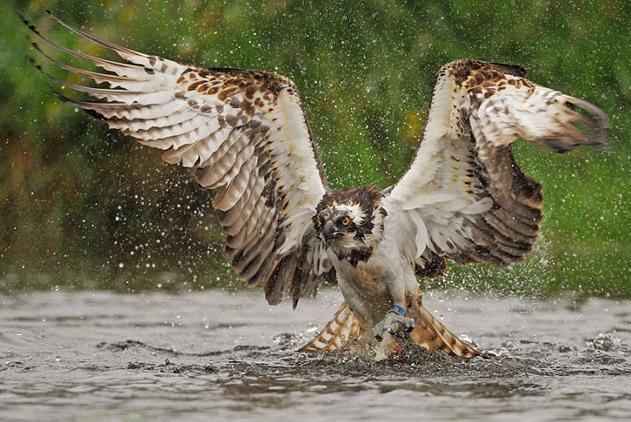 英业余摄影师抓拍鱼鹰捕鱼瞬间令人震撼